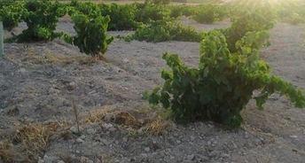UPA CLM alerta de que en la comarca de Hellín una plaga se come las raíces del viñedo