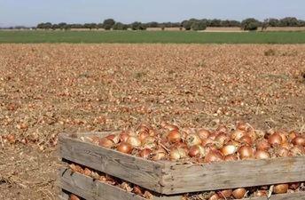 Mercadona prevé comprar 85.000 toneladas de cebollas nacionales, algunas de Minaya (Albacete), para la campaña de 2020