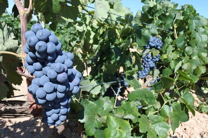 2,7 millones de euros en pagos de reestructuración de viñedos para agricultores de la provincia de Albacete