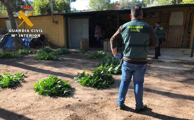 Cuatro vecinos de Almansa detenidos por la Guardia Civil por cultivar marihuana y tener 6.000 dosis para su venta