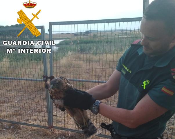 La Guardia Civil de Albacete recupera un ejemplar de azor herido cerca de Corral Rubio (Albacete)