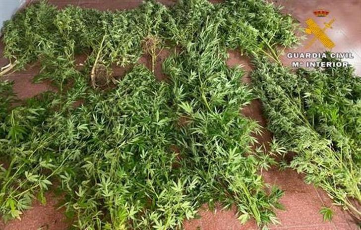 Detenido por cultivar plantas de marihuana en una parcela junto a su casa de Socovos (Albacete)