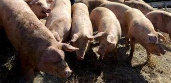 La Junta autoriza que una granja de Cancarix (Hellín) cambie de 10.000 plazas de cerdos a la cría de 41.650 lechones