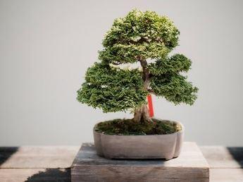 Cómo cuidar un bonsái