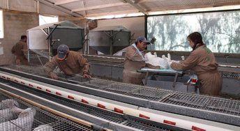 UPA alerta de que la situación de los productores de conejo es 'crítica' ante el incremento de costes