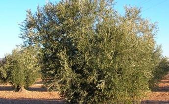 Castilla-La Mancha es la segunda Comunidad Autónoma, tras Andalucía, en facturación de aceite de oliva
