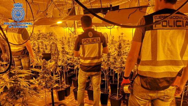 Desmantelan un sótano de un chalé de Pepino (Toledo) donde tenían 1.720 plantas de marihuana