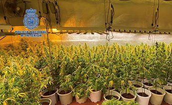 Desmantelada en Cabanillas del Campo una plantación de marihuana con gran capacidad de producción