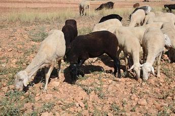 2.674 castellano-manchegos se beneficiarán de ayudas para explotaciones ovinas y caprinas con dificultades por coronavirus