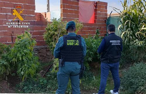 Detenido un hombre de 63 años e intervenidas 21 plantas de marihuana en Ossa de Montiel (Albacete)
