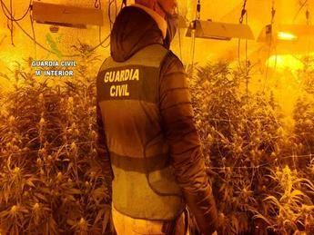 Detenida una persona y desmantelada una plantación de marihuana con 710 plantas en Valdeaveruelo (Guadalajara)