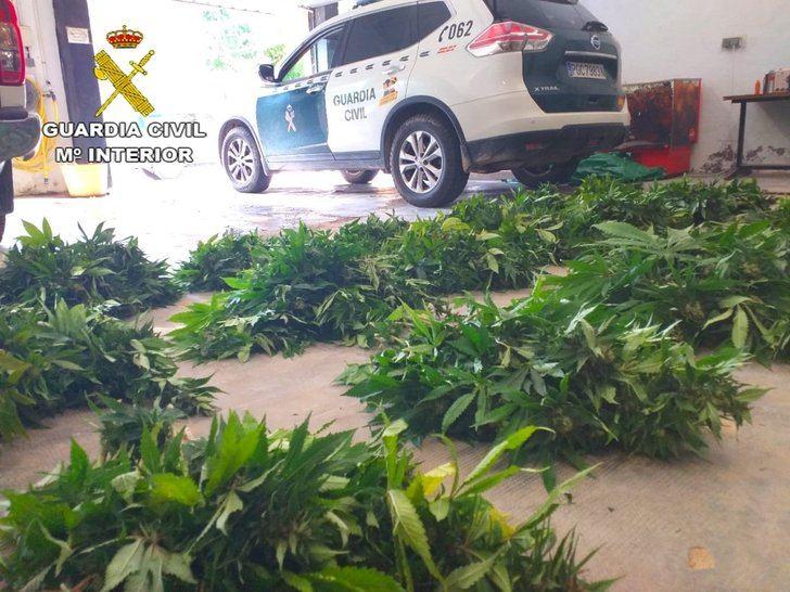 Detenido un hombre en Guadalajara con 400 plantas de marihuana