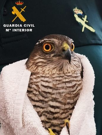 La Guardia Civil recupera un ejemplar de gavilán común herido, en Peñas de San Pedro (Albacete)