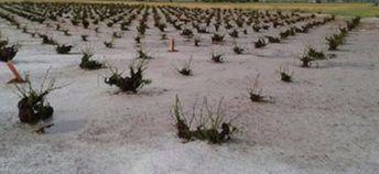 El granizo del pasado martes causa daños en 1.500 hectáreas de viñedo en Socuéllamos y Tomelloso