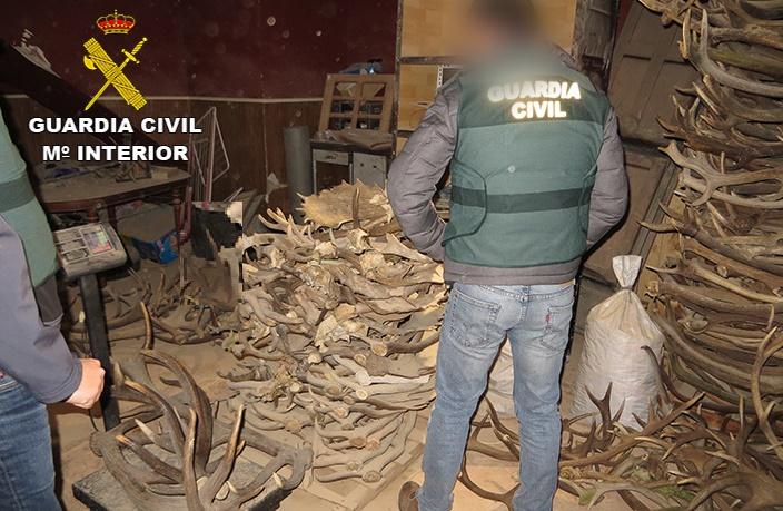 Desarticuladas tres organizaciones dedicadas a la compra de cuernos de ciervo, con afectados en Albacete y otras provincias