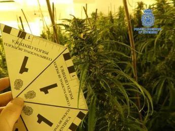 Desmantelado un cultivo en una casa de Bargas (Toledo) capaz de producir más de 200 kilos de marihuana