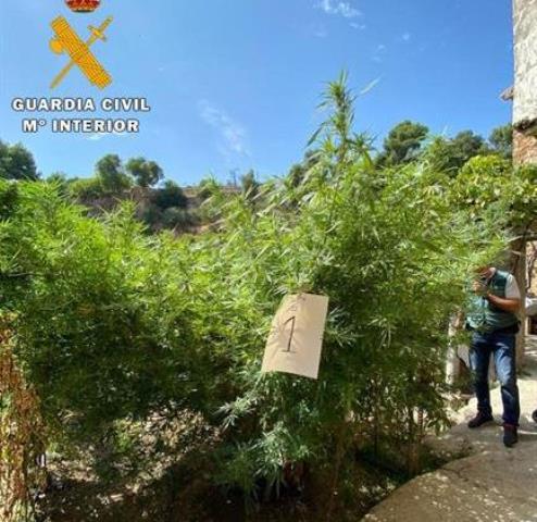 Detenidas dos personas de Letur (Albacete), de 54 y 27 años, que tenían un huerto de marihuana