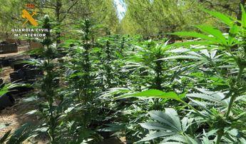 La Guardia Civil interviene 7.300 plantas de marihuana en las provincias de Ciudad Real y Córdoba