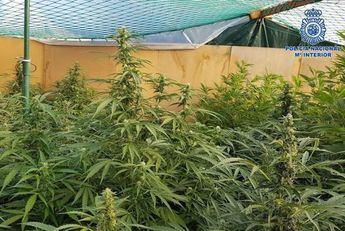 Desarticulada en Talavera La Nueva (Toledo) una plantación ilegal de marihuana