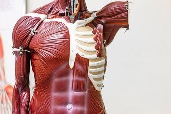 Modelo anatómico: un recurso para estudiantes y sanitarios