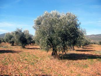 UPA hace un llamamiento al mercado del aceite de oliva para lograr precios justos