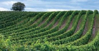Asaja C-LM estima un 20% menos de producción para la campaña vitivinícola 2021/2022