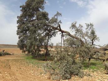 Castilla-La Mancha declara la 'Carrasca Ruli' como árbol singular, el primero en la región desde 2011
