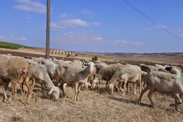 Ganaderos y agricultores de Castilla-La Mancha recibirán cerca de 20 millones de euros de ayudas de la PAC
