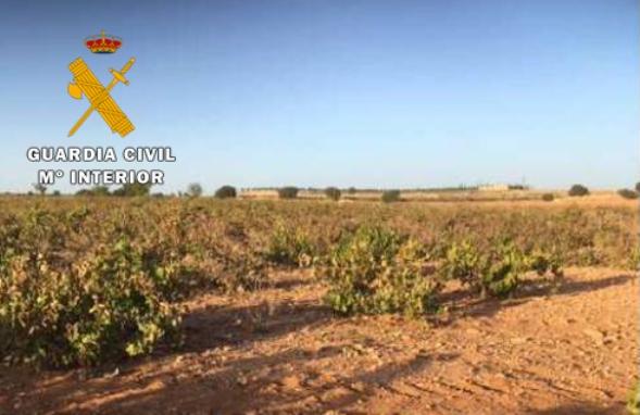 La Guardia Civil recupera 24.000 kilos de uva en una finca de Mahora (Albacete)