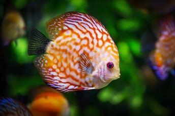 Tipos de peces de agua dulce para acuario