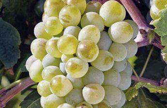 Uva Castellana Blanca como la que se produce en Pozohondo.