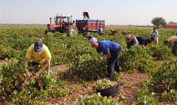Comienza la vendimia de forma generalizada en Castilla-La Mancha