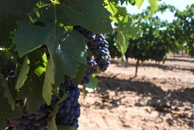 46 millones de euros de ayudas de la Junta para reestructuración de viñedo en Castilla-La Mancha, que llegarán a 2.066 agricultores