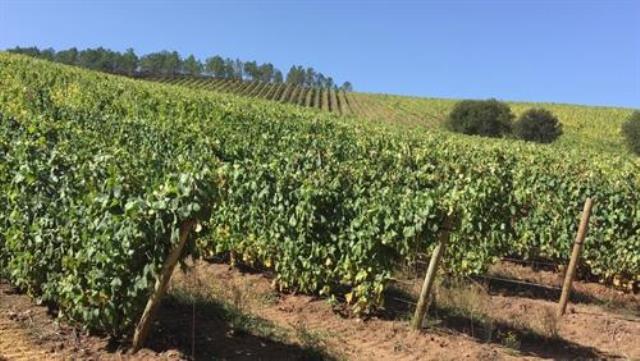 El futuro del viñedo en España, en riesgo por el cambio climático, que ya ha obligado a adelantar la vendimia 15 días