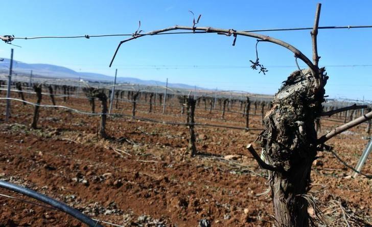 Castilla-La Mancha tendrá la mitad de la superficie asignada para nuevos viñedos