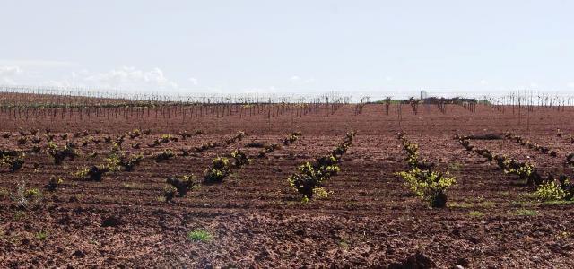 La Junta de Castilla-La Mancha paga más de 11 millones para reconversión del viñedo a 1.000 agricultores